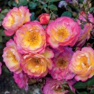 Rainbow Happy Trails Weeks Groundcover Rose