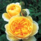 Graham Thomas David Austin Rose