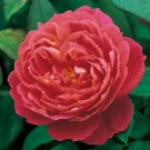 Benjamin Britten David Austin English Rose