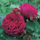 Falstaff David Austin English Rose