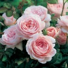 Queen of Sweden David Austin Rose