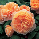 Crown Princess Margareta David Austin English Rose