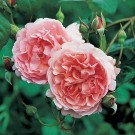Strawberry Hill David Austin English Rose