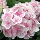 Hydrangea macrophylla 'Next Generation Wedding Ring'