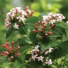 Abelia 'Sweet Emotion'
