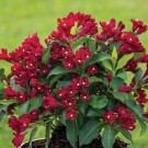 Weigela 'Maroon Swoon'