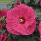 Hibiscus 'Summer in Paradise'