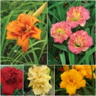 The Vancouver Sun Double Double Daylily Collection