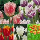 The Vancouver Sun Frosty Fringed Tulip Collection