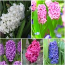 The Vancouver Sun Royal Velvet Hyacinth Collection