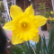 King Alfred Type Trumpet Daffodil