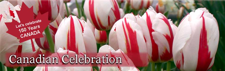 Image result for canadian celebration tulip