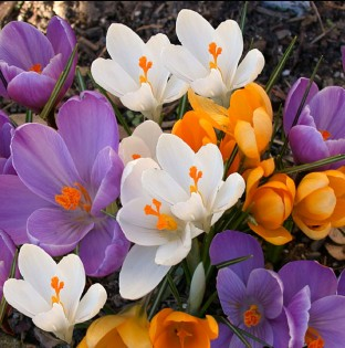Large Flowering Crocus Mix