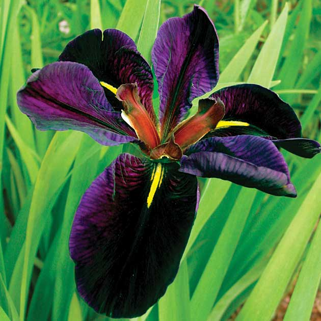 Iris Louisiana 39 Black Gamecock 39 B Tanus Care Inspire Grow